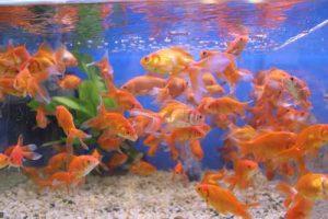 Guinía tiene gran variedad de peces ornamentales. Foto. archivo particular