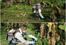 Con jornadas de inspección y control fitosanitario, el ICA protege los cultivos de plátano en el Guainía