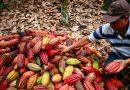 De la coca al cacao, un proyecto de alto vuelo