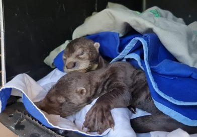 Dos pequeñas nutrias fueron rescatadas en Puerto Carreño