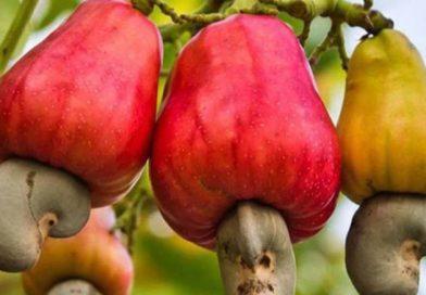 Marañón: El fruto amazónico que está de moda en EEUU y Europa